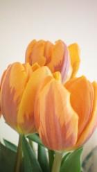 tulipsvert